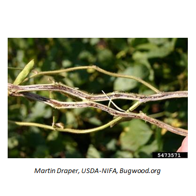 Tips for Managing 7 Serious Soybean Diseases